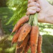 Fresh carrots from garden — Stock Photo #47374983
