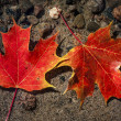 Maple leaves in water — Stock Photo #47375319