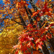Fall maple forest — Stock Photo #47376041
