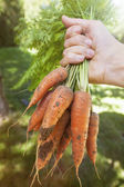Fresh carrots from garden — Stock Photo