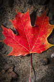 Red maple leaf in water — Stock Photo