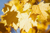 Glowing fall maple leaves — Stock Photo
