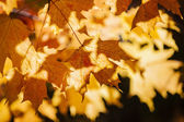 Backlit fall maple leaves — Stock Photo