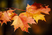 Red fall maple leaves — Stock Photo