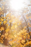 Sun in maple branches — Stock Photo