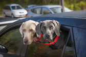 Dogs in car — Stock Photo