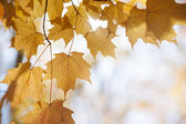 Backlit maple leaves in fall — Stock Photo