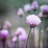 Chives flowering — Stock Photo