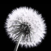 Dandelion — Photo