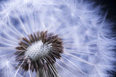 Dandelion with seeds — Stock Photo