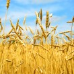 Grain field — Stock Photo #4948158