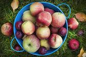 Fresh apples harvest — Stock Photo