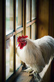 Farm rooster — Stock Photo