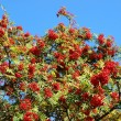 Rowan berry tree — Stock Photo