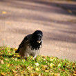 Foto Stock: Crow, gathering food