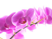Phalaenopsis orchid — Stock Photo
