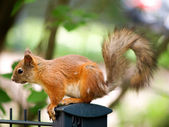 Squirrel and fury tale — Stock Photo