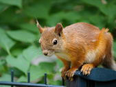 Squirrel on a fence — Stock Photo
