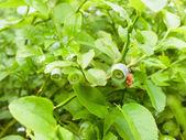 Green blueberry — Stock Photo