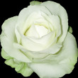 White rose towards black — Foto Stock