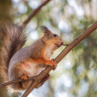 Squirrel on branch — Stock Photo