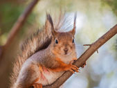 Squirrel on branch — ストック写真