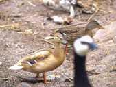 Light brown mallard duck — Photo