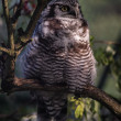 Stock Photo: Hawk owl in tree