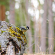 Titmouse on a stump — Stock Photo