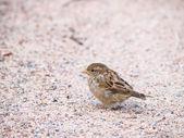 Sparrow on gravel — Stock Photo