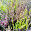Calluna flowers — Stock Photo