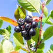 Chokeberry — Stock Photo #31964107
