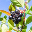 Chokeberry — Stock Photo