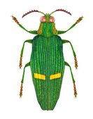 Opulent jewel beetle — Stock Photo
