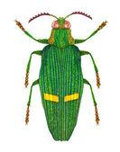 Opulent jewel beetle — Stock Photo