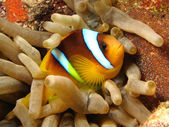 Anemone fish - Picture was taken in the Red Sea — Stockfoto