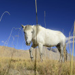 White Horse — Stock Photo #33164931
