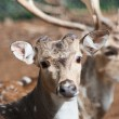Stock Photo: Axis deer