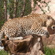 Stock Photo: Leopard gets up