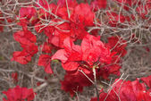 Bracts of Bougainvillea — Stock Photo