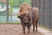 A wisent — Stock Photo