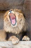 Lion yawns — Stock Photo