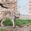 Grey wolf — Stock Photo #21111213