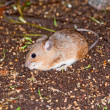 Asia Minor spiny mouse — Stock Photo