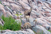 Alpine ibex with kids — Stock Photo