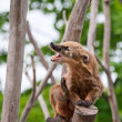 Ring-tailed coati yawns - Stock Photo