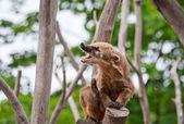 Ring-tailed coati yawns — Stock Photo