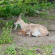 Alpine ibex with kid — ストック写真