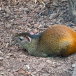 Red-rumped agouti — Stock Photo
