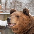 Portrait of a brown bear — Stock Photo #24028909